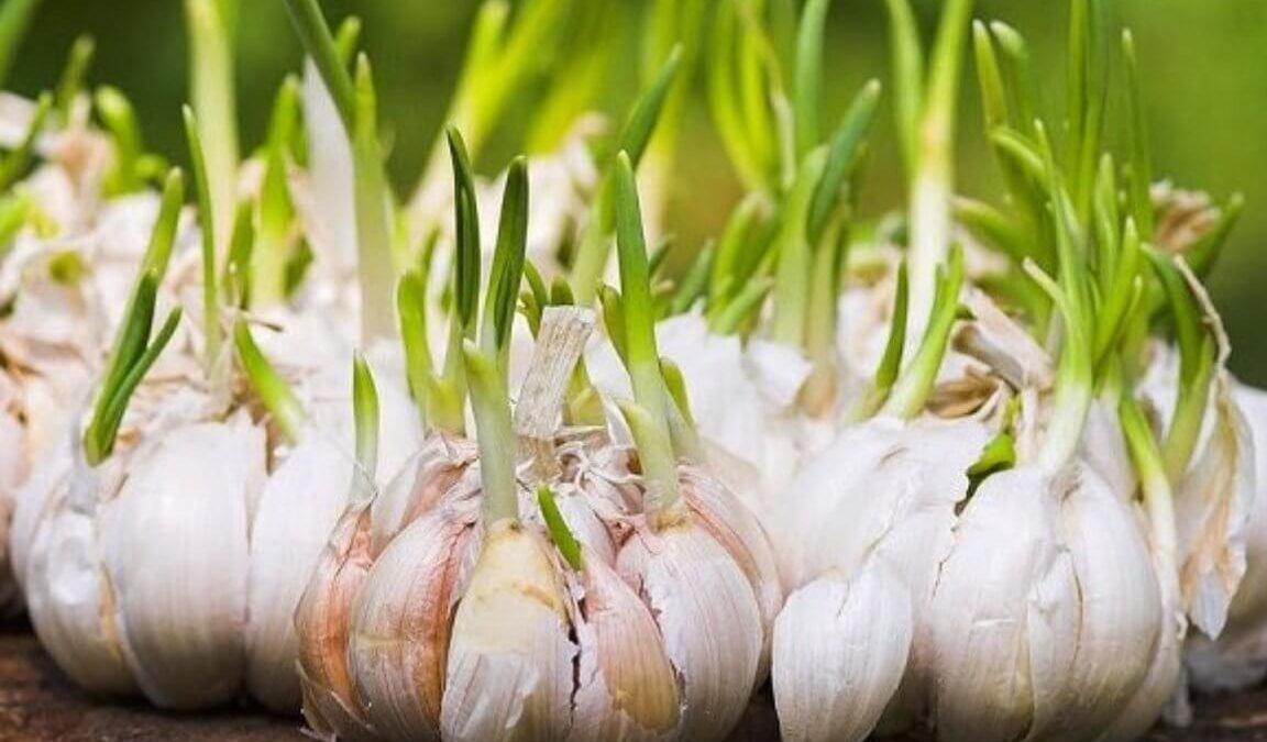 Cara Menanam Bawang Putih Dengan Metode Hidroponik GDM Organik - Pupuk Organik GDM & Suplemen