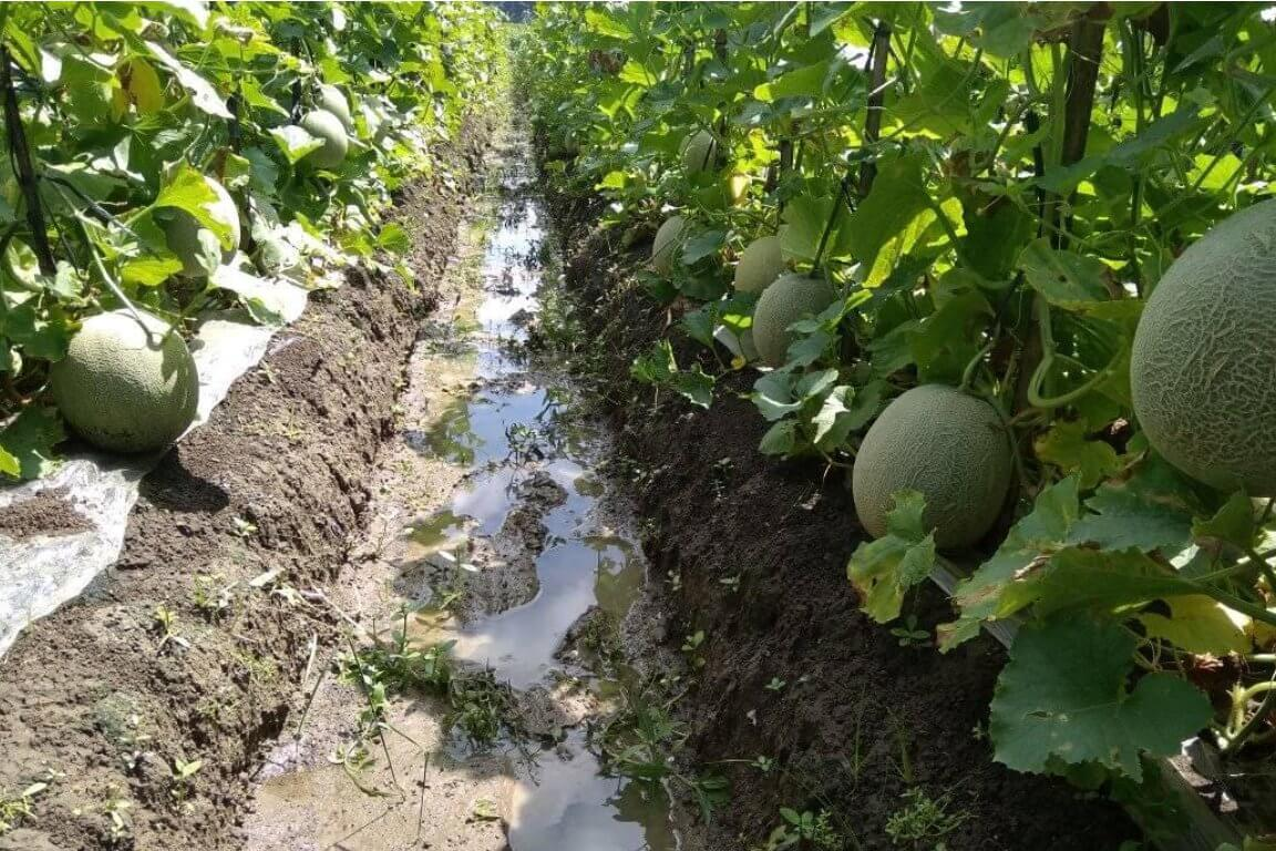 Cara Menanam Melon Terbukti Menghasilkan Panen Berlimpah