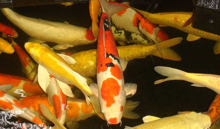 Cara Budidaya Ikan Koi Yang Telah Terbukti Meningkatkan Hasil Panen