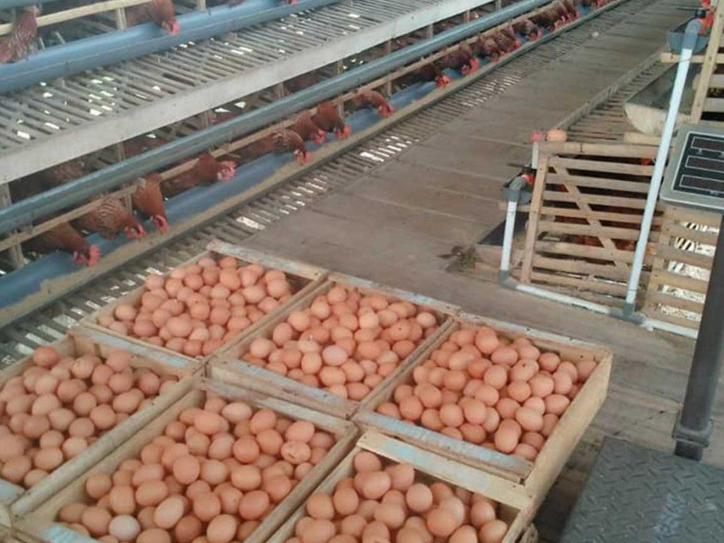 Analisa Peluang Usaha Ternak Ayam Kampung Portal Usaha