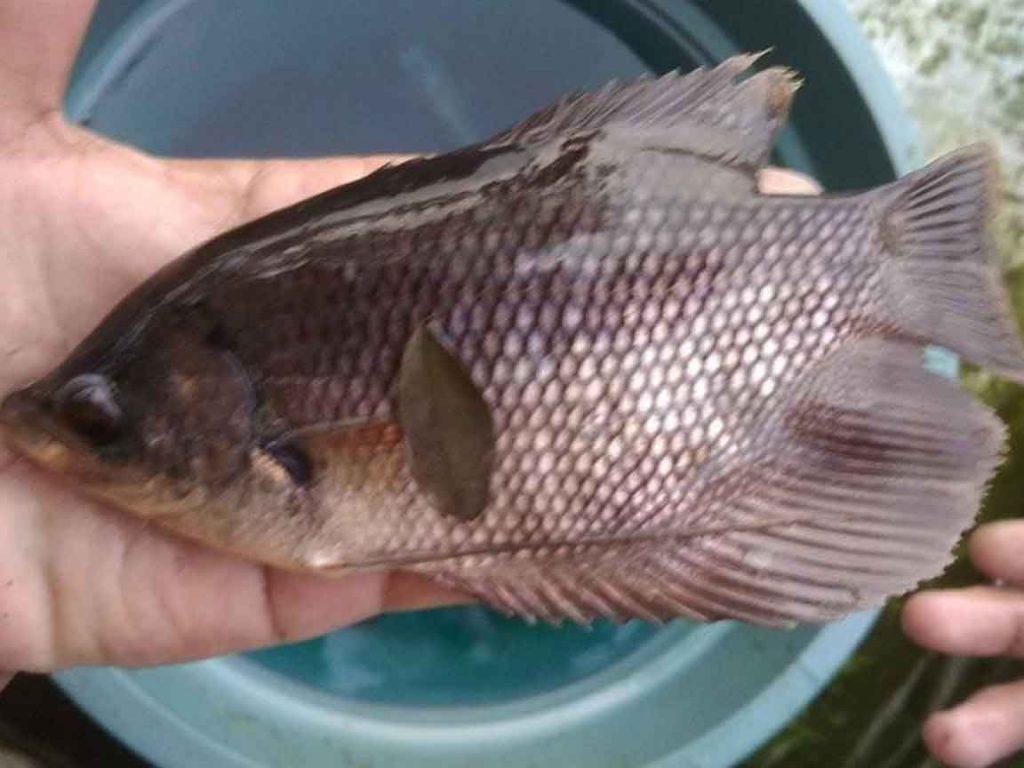 Cara Budidaya Ikan Nila Terbukti Mendapatkan 250juta Sekali Panen