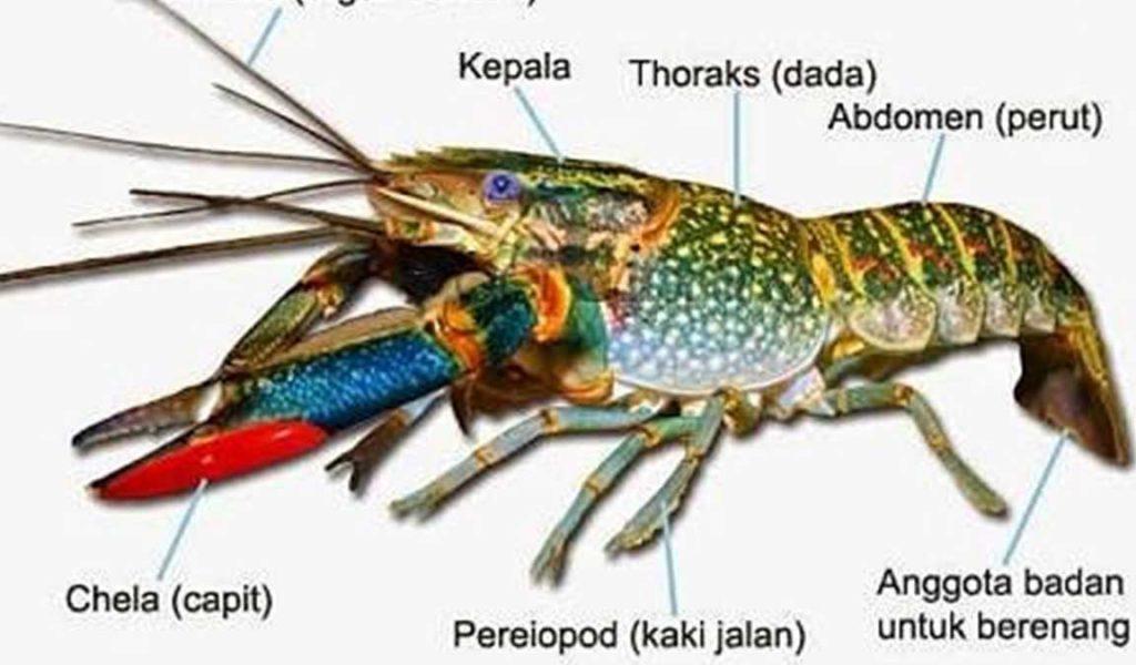 Makanan Burayak Lobster Air Tawar